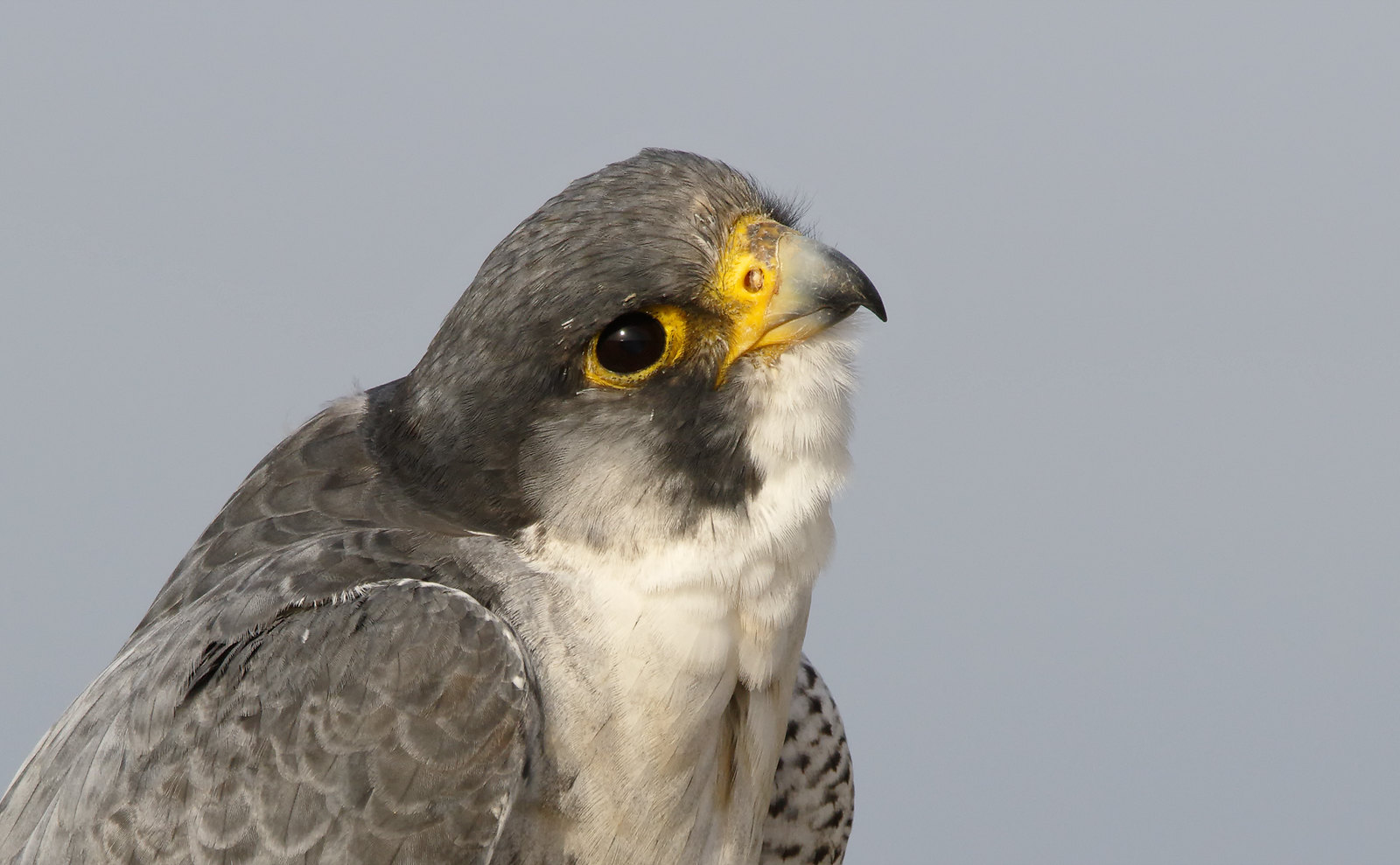 A very obliging Peregrine Falcon