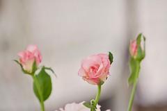 Three small roses.
