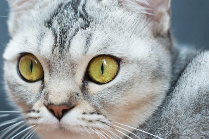 gato exótico ojos