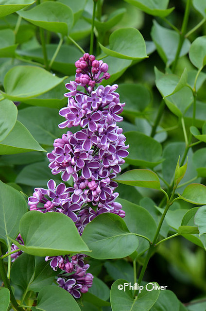 lilac-sensation