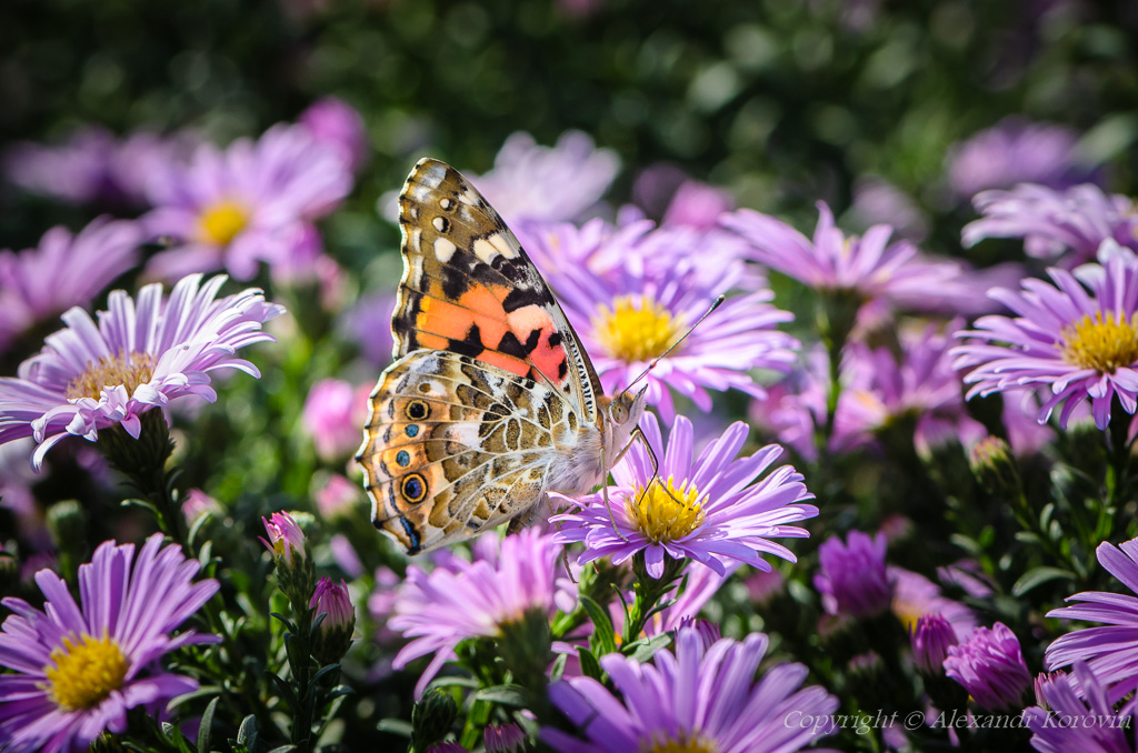Beautiful motley butterfly collects nectar on a bud of astra
