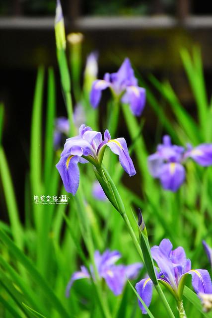 20180405 植物園-鳶尾花 (6), Nikon D5500, AF Nikkor 50mm f/1.4