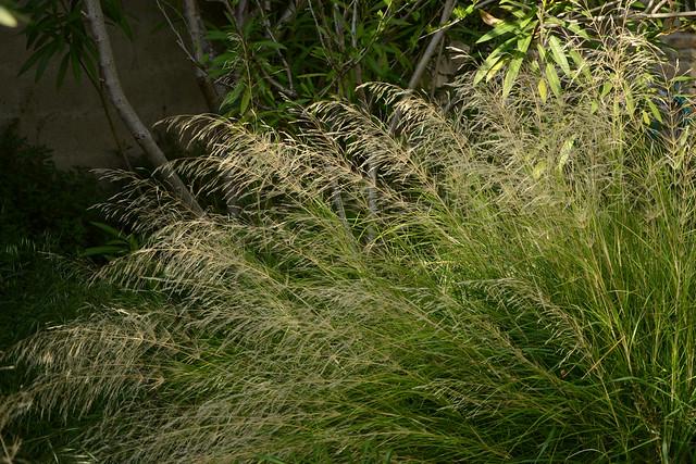 Oloptum miliaceum [identification Poaceae] 41701252921_756ec2dff1_z