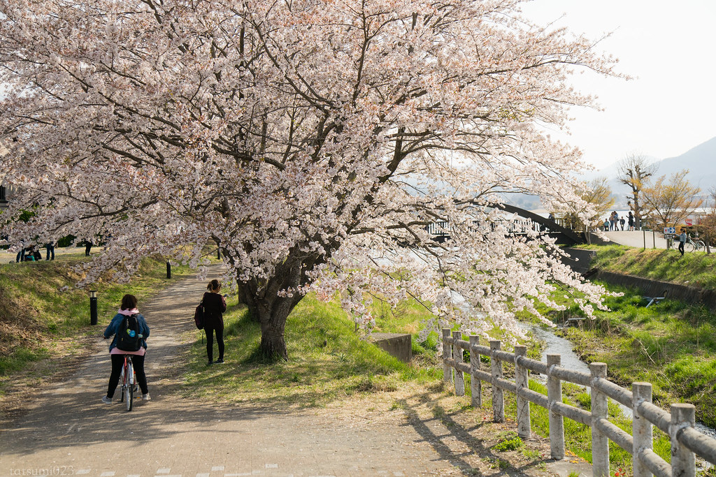 2018-04-13 河口湖の桜 005
