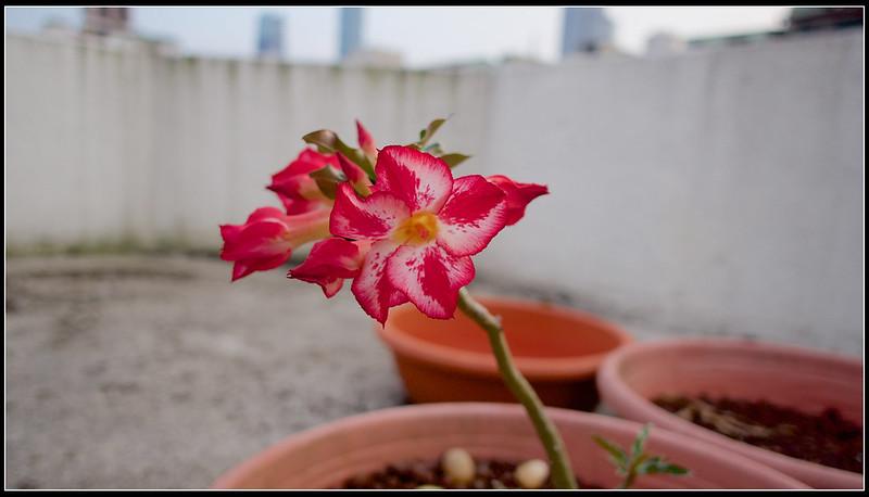 沙漠玫瑰-P5020747 (1)