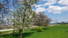 Flowering May trees, Riga farmhouse