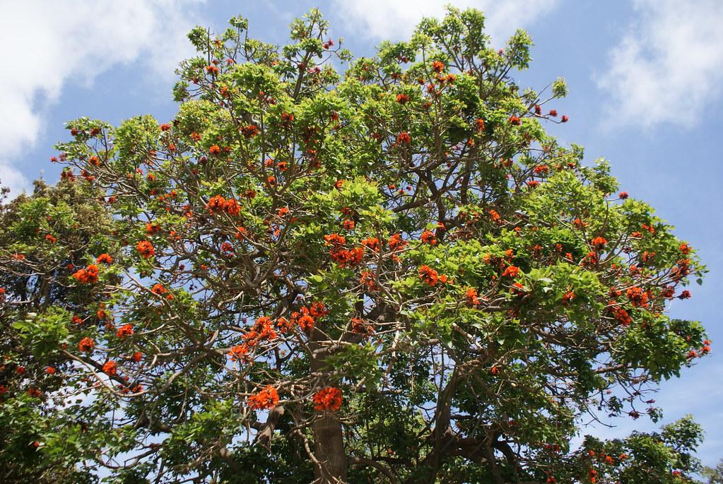 Un bel arbre aux fleurs surprenantes dans le parc de la Villa Comunale à Naples (quartier de Chiaia).