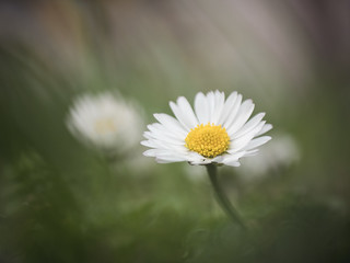 I love daisies | by A_Peach