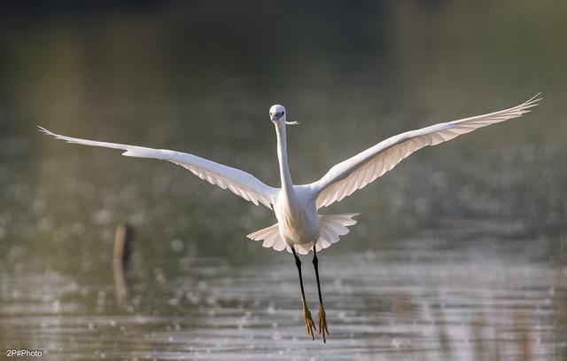 Aigrette garzette, Little Egret