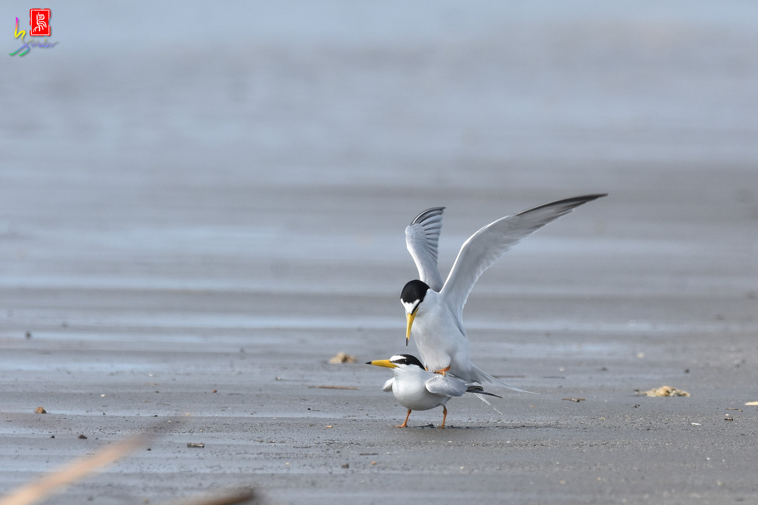 Little_Tern_4408