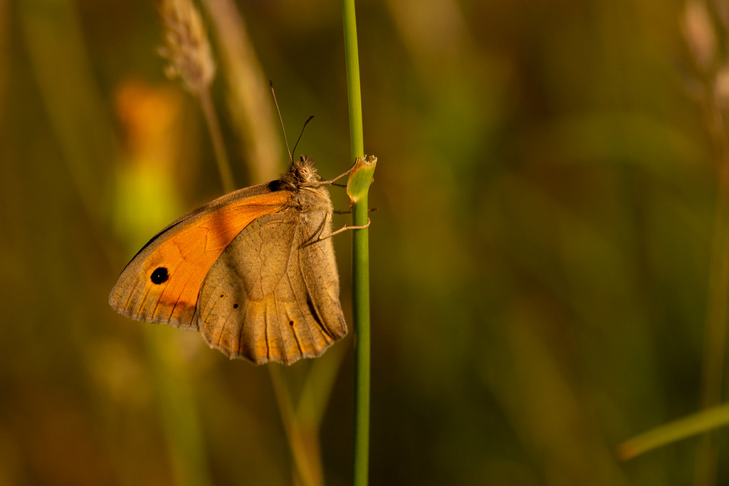 Small Heath Butterfly - Coenonympha pamphilus