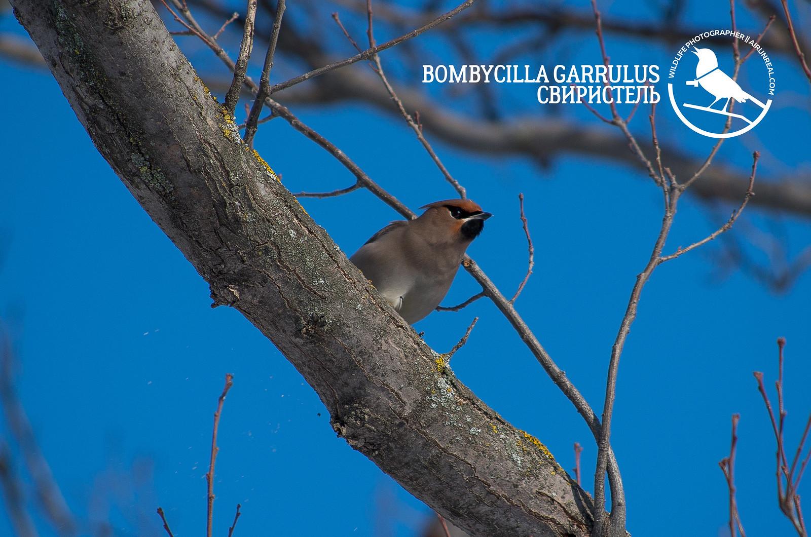 Bombycilla garrulus // 20180524