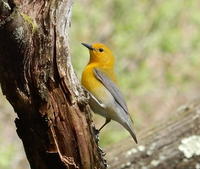 Prothonotary Warbler Prospect Park