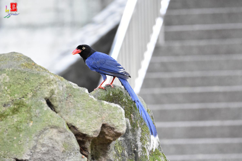 Formosan_Blue_Magpie_6595