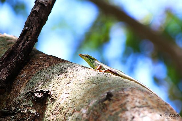Summer Lizard