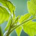 20180524_F0001: A baby tomato plant