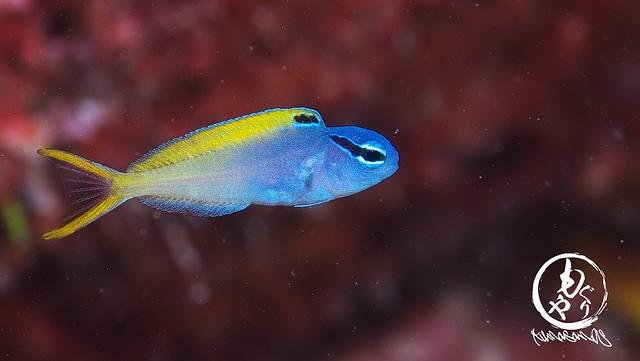 オウゴンニジギンポ幼魚ちゃん♪