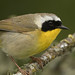 Common Yellowthroat by Angie Vogel Nature Photography