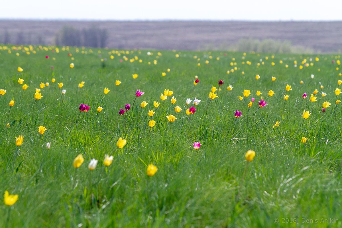 тюльпаны иваново поле фото 2