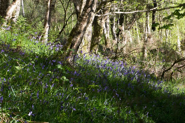 bluebell wood, Canon EOS 60D, Tamron SP 70-300mm f/4.0-5.6 Di VC USD
