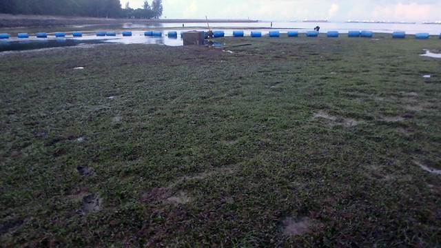 Living seagrass meadows at East Coast Park
