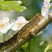 Lackey Caterpillar