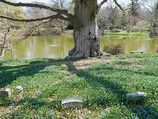 Scilla, at Halcyon Pond