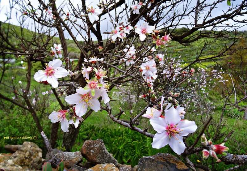 15b Almendro en flor