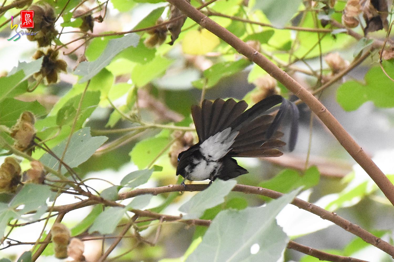Japanese_Paradise-flycatcher_4689