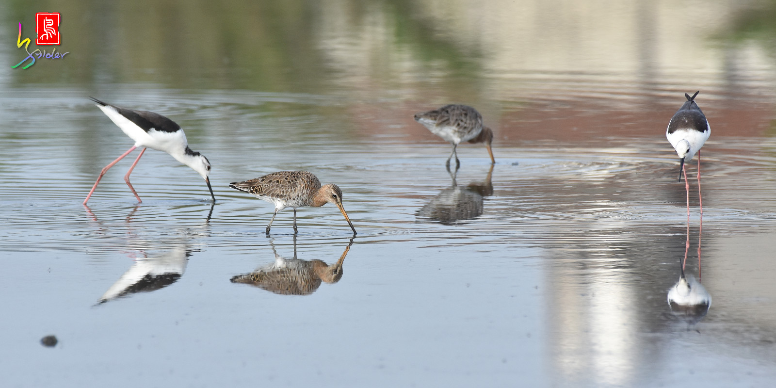Black-tailed_Godwit_6687