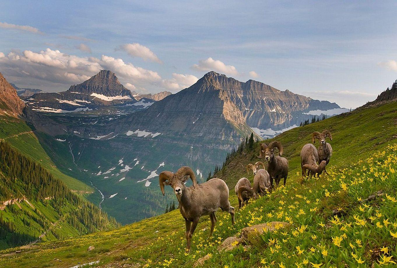 Wildlife in Glacier National Park, Montana.