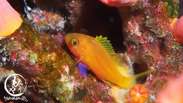 スミレナガハナダイ幼魚ちゃん。珍しく着底して固まるの巻w♪