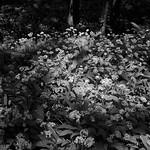 Wild Garlic in Mason's Wood Preston