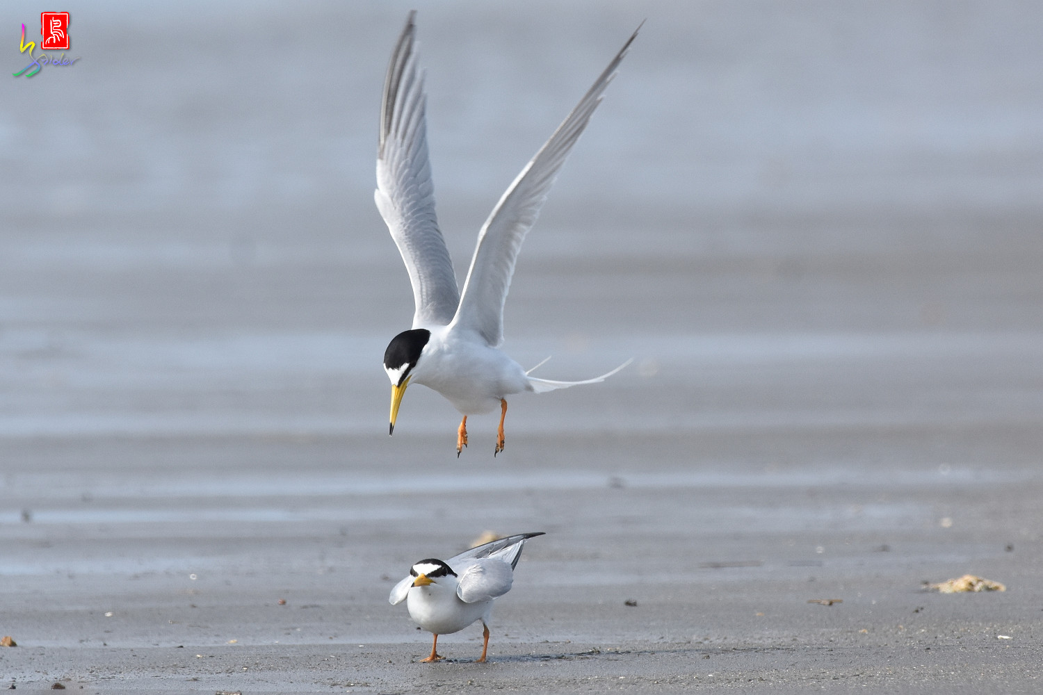 Little_Tern_4451