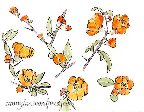 Orange Quince flowers sketch