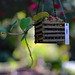 Swing for Hoya Kerrii, Lucky-heart, Sweetheart Plant, Valentine Hoya