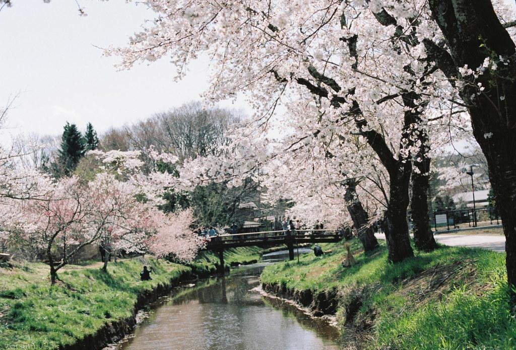 2018-05-20 新名庄川の桜 006