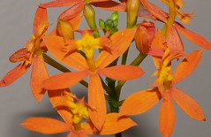 canna lily(0.0), crocosmia(0.0), orange(1.0), flower(1.0), yellow(1.0), epidendrum(1.0), plant(1.0), flora(1.0), petal(1.0),