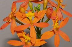 orange, flower, yellow, epidendrum, plant, flora, petal,