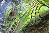 "<a href=""http://www.flickr.com/photos/overton_cat/272503383/"">Photo of Iguana iguana by Walwyn</a>"