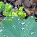 Small photo of Obligatory wet alchemilla photo