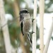 Small photo of Mito 02 Long-tailed Tit Aegithalos caudatus