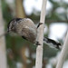 Small photo of Mito - Long-tailed Tit Aegithalos caudatus
