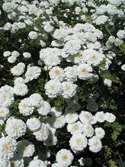 yarrow(0.0), iberis sempervirens(0.0), candytuft(0.0), marguerite daisy(0.0), chrysanths(0.0), shrub(1.0), flower(1.0), plant(1.0), chamaemelum nobile(1.0), tanacetum parthenium(1.0), flora(1.0),
