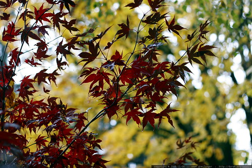 red maple leaves, yellow maple leaves    MG 4795