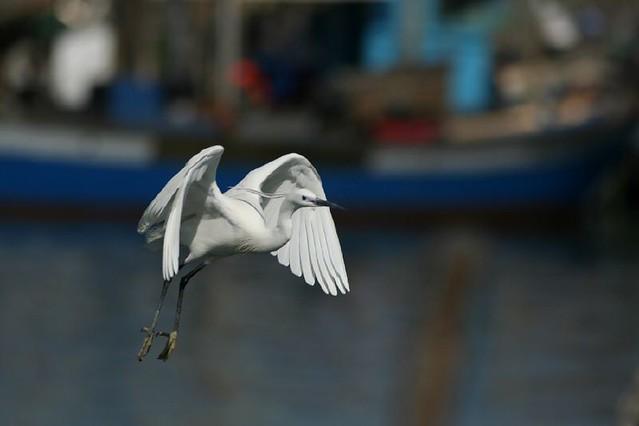 Garzetta (Egretta garzetta) Little Egret