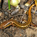 Southern Two-lined Salamander - Photo (c) Patrick Coin, some rights reserved (CC BY-NC-SA)