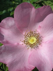 english tea rose