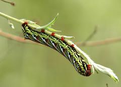 Sphinx moth larvae