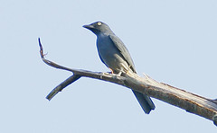 animal, branch, wing, fauna, blue, beak, bird, crow-like bird,